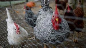 Bushy House Chickens